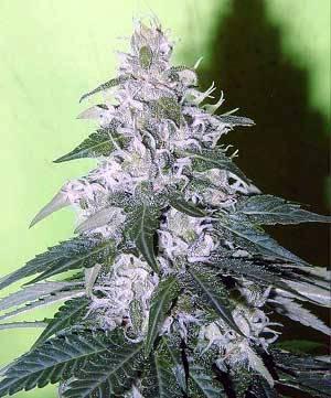 white-rhino-marijuana-1[1]