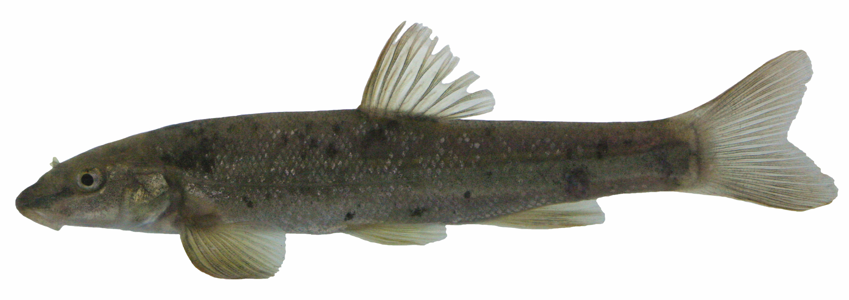 Freshwater fish dace - A Longnose Dace From The Similkameen River And A Formula Gt Car From My Favourite Video Game Perhaps The Comparison Is Tenuous But It Is Always Fun To