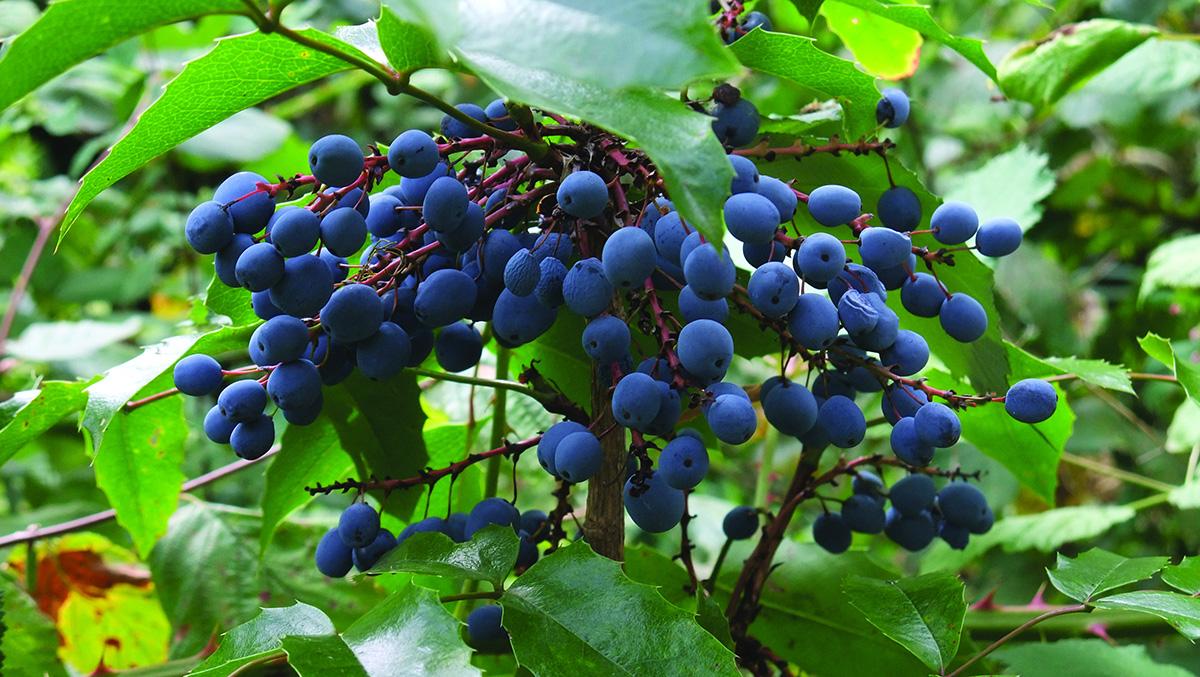 Berberis aquifolium fruit