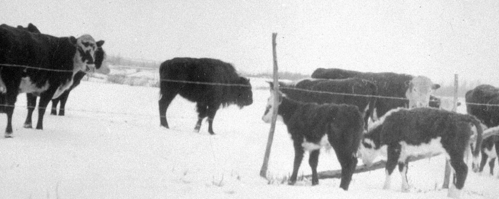 130ee16842a146 Baby bison on the Crawford Cattle Ranch. 1931. Unknown photographer.  Reduced version of BCA D-00870.