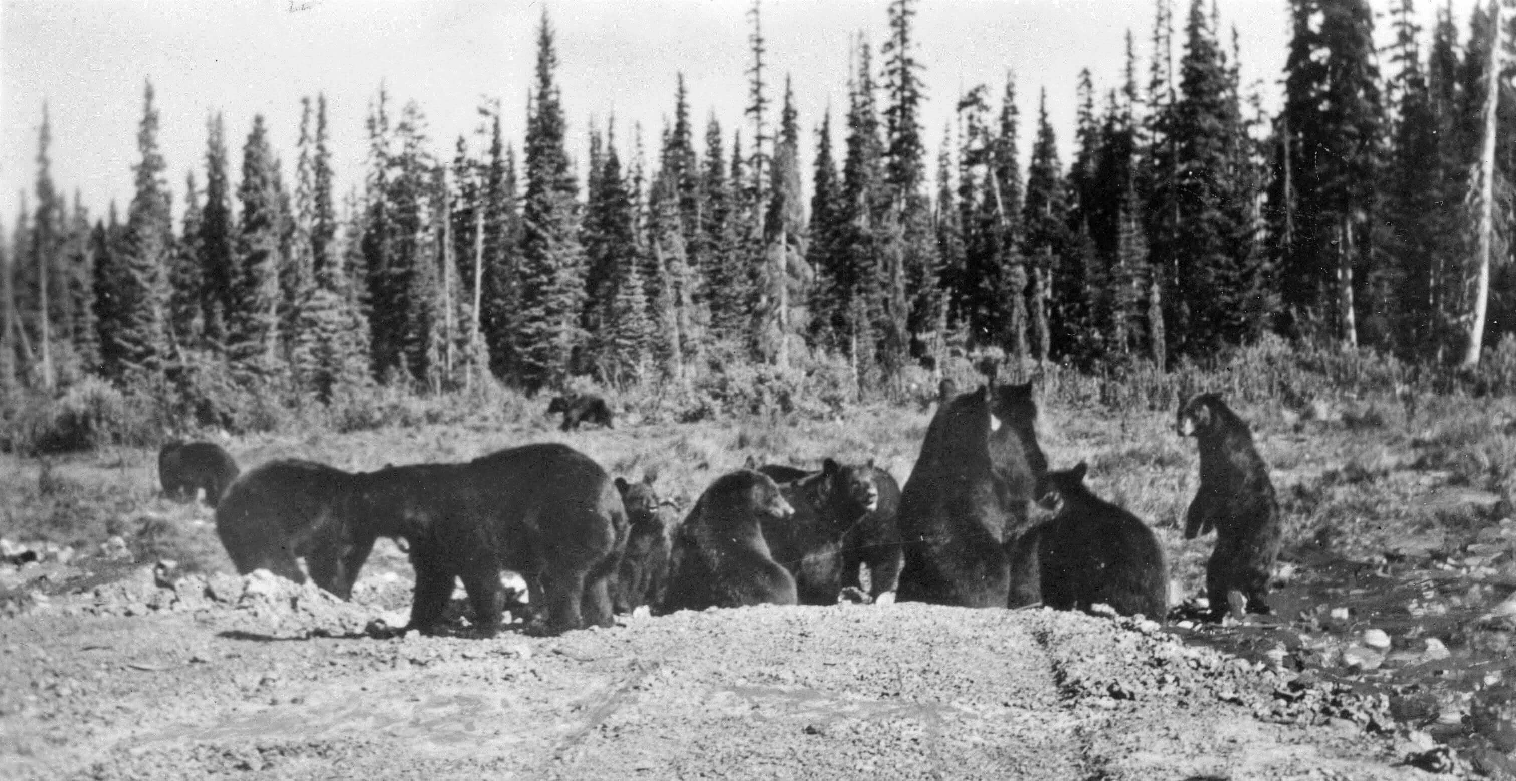7a8d26187ab Bears at the Banff (above) and Jasper (below) Garbage Dumps in the 1950s