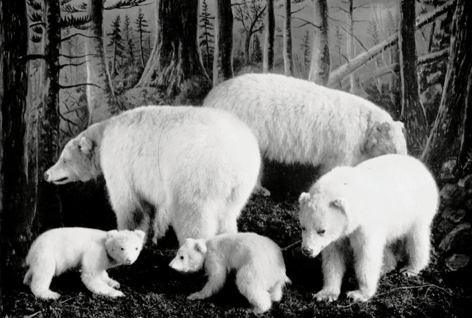 """a4547105511 Figure 2b. """"Kermode's bear exhibit"""" in 1909, at the Provincial Museum. A  new exhibit case with the addition of two adults and a juvenile (RBCM  F-07368)."""