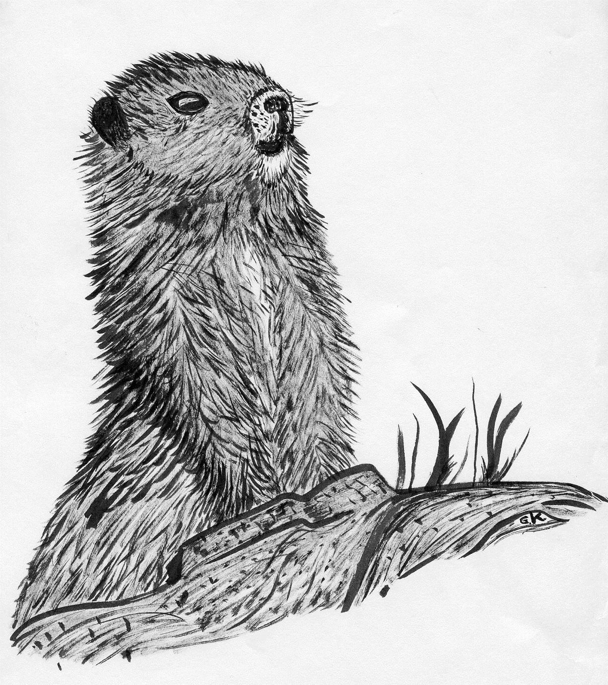 Figure 1. Ink Drawing of Vancouver Island Marmot. (Grant Keddie)