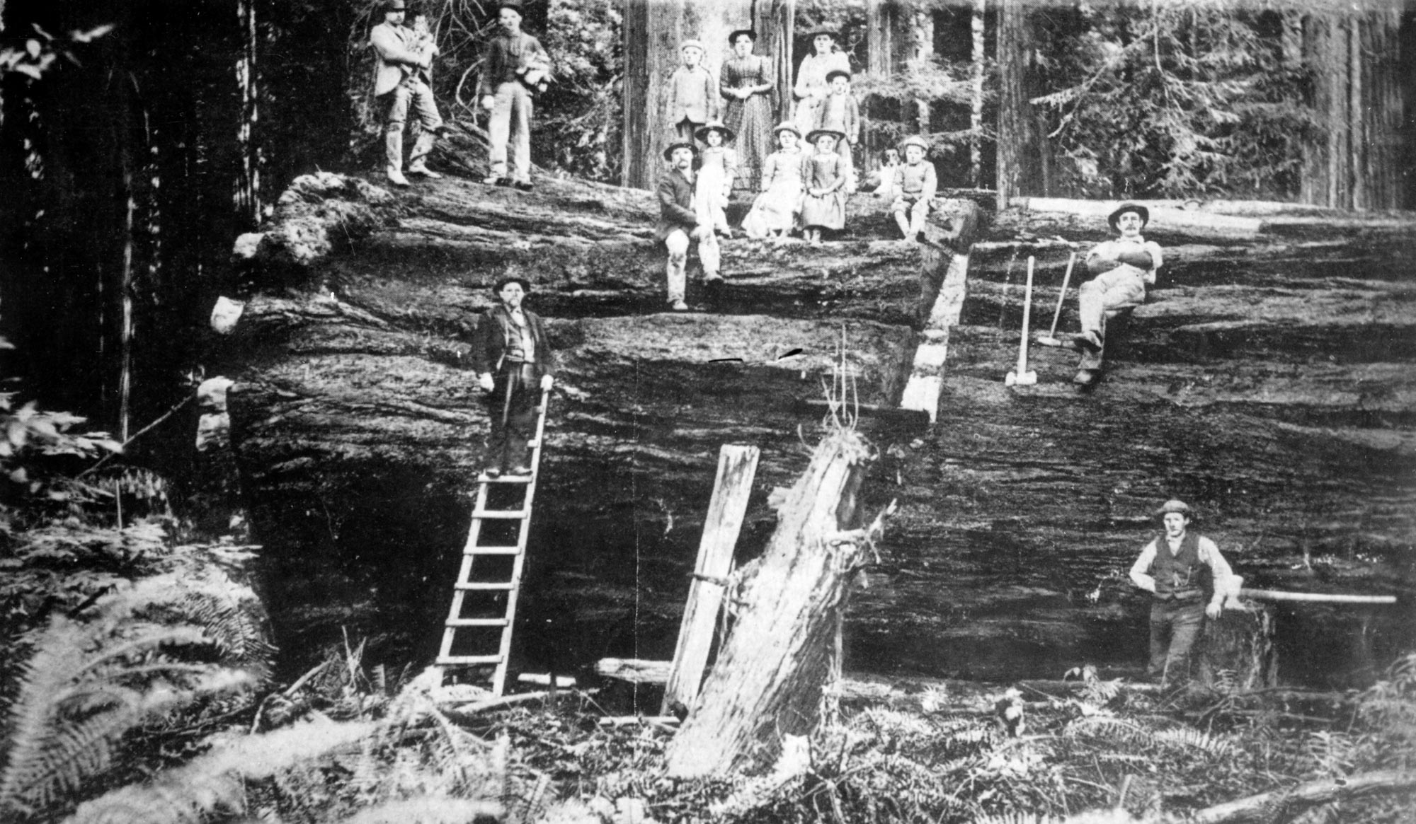 a black and white image of several people (men, women and children) sitting on a very large felled old growth tree. a ladder is placed against the tree for people to reach the top